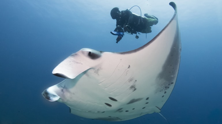Underwater Contact-Free Ultrasound Scans Giant Pregnant Manta Rays