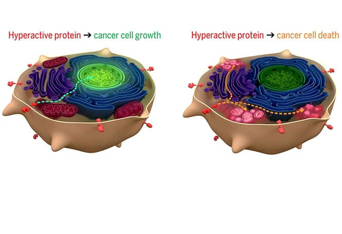 Synthetic Proteins Designed to Halt Growth of Cancers