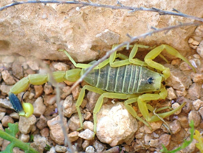 Scorpion Protein Used to Help Visualize Brain Tumors