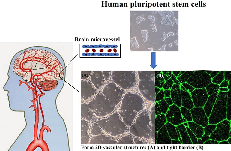 Scientists Develop Accurate Model of Blood-Brain Barrier