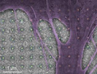 Optical Nanoprobes Monitor Neural, Cardiac Cell Activity
